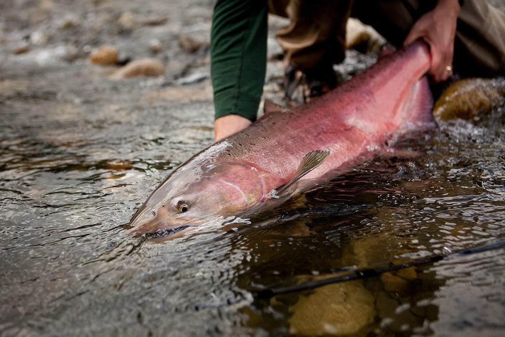fly caught king or chinook salmon hen, Chilitna River, interior Alaska
