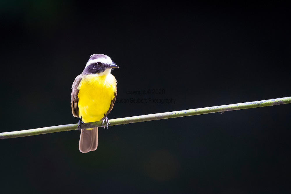 Barro Colorado Island, a site for the study of lowland moist tropical forests owned by the Smithsonian Tropical Research Institute in the Panama Canal and is part of the Barro Colorado Nature Monument. Rusty margined flycatcher.
