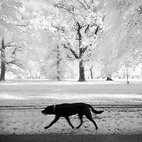 A black dog walking in a park