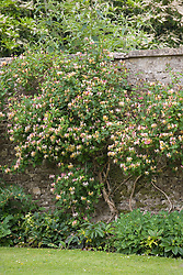 Honeysuckle growing against a stone wall. Lonicera