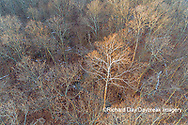63877-01506 Aerial view of lone Sycamore tree in winter woods Marion Co. IL