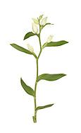 White helleborine - Cephalanthera damasonium