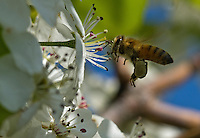 With legs covered in pollen, a honey bee visits the flowers on a tree in front of Holy Family church on 4th. St. Road in Fond du Lac Wednesday morning. Wednesday, May 21, 2014. Patrick Flood/Action Reporter Media.