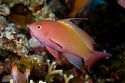 Threadfin Anthias (Nemanthias carberryi) in Komodo National Park, Indonesia