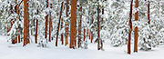 Winter in the ponderosa pine forest on the South Rim of Grand Canyon National Park.