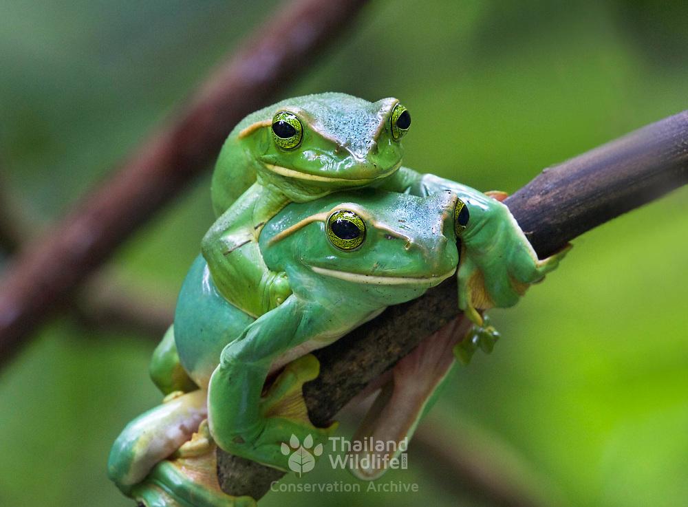 Rhacophorus feae (Fea's Flying Frog)