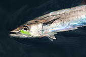 King Mackerel Stock Photos