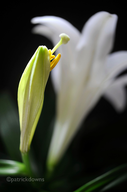 Lily, ready to open.