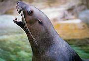 A steller sea lion off Vancouver Island, British Columbia. Canada.