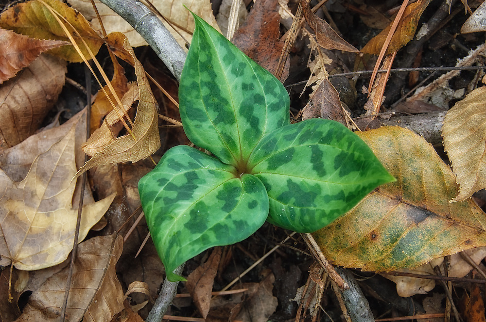 A beautiful specimen of the rare and very local Chattahoochee River wakerobin not yet in flower popping up through the forest floor near the river that bears it's name. This was photographed in North Florida, very near tri-state border with Alabama and Georgia and was photographed around Thanksgiving.
