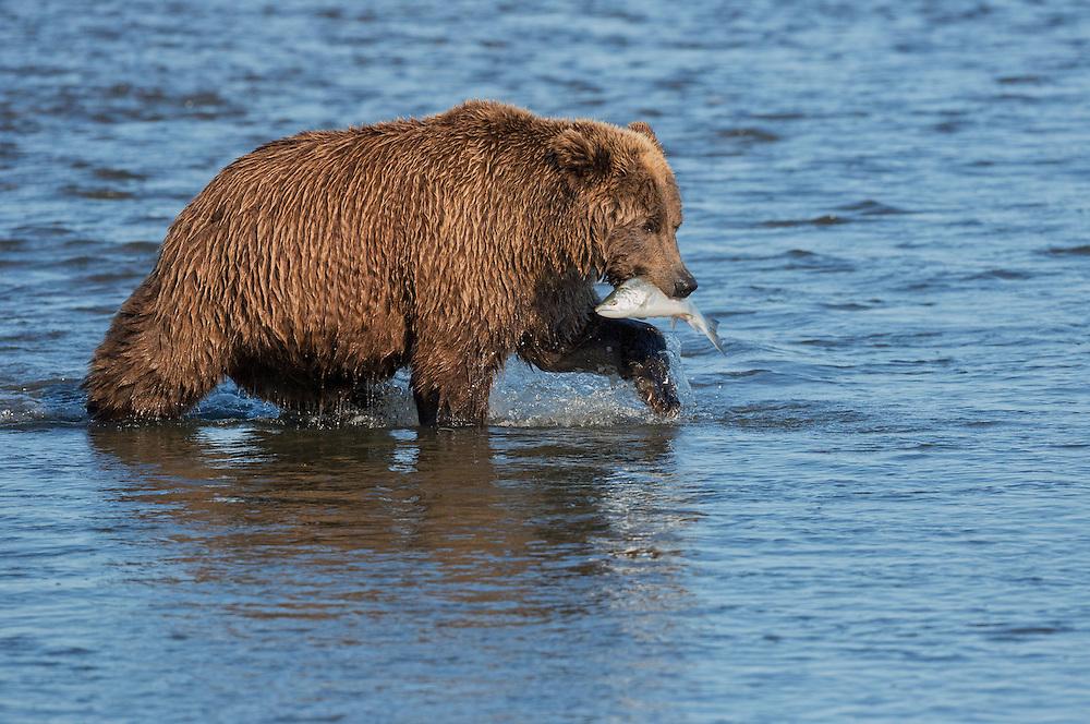 A Coastal Brown Bear (Ursus arctos) sow catches a silver salmon in Silver Salmon Creek, Lake Clark National Park, Alaska