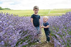 Lordington Lavender Mini Shoots - The Lake's