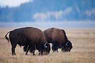 Bison graze in the grasslands of Grand Teton National Park