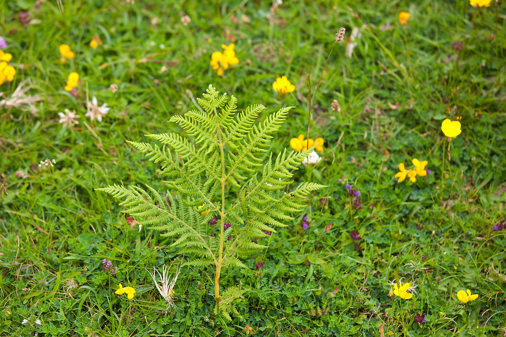 Bracken and Birdsfoot trefoil wildflowers near Watendlath in the Lake District National Park, Cumbria, UK