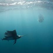 Sailfish hunting sardines off Mexico's Isla Mujeres.