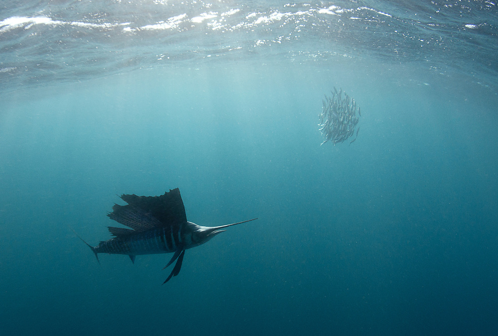 Sailfish hunting sardines off Mexico's Isla Mujeres.