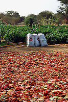 Niger, Agadez, Tidene, 2007. A single harvest of tomatoes will bring to the Tidene area not only food but money for much needed supplies.