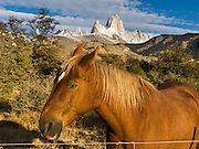 "Sunrise light spotlights a brown horse near Mount Fitz Roy (3405 meters or 11,170 feet), which rises abruptly on the border between Argentina and Chile in the Southern Patagonian Ice Field in the Andes mountains, near El Chaltén village, Argentina, South America. In 1877, explorer Perito Moreno named ""Cerro Fitz Roy"" for Robert FitzRoy (no space before the capital R) who, as captain of the HMS Beagle, had travelled up the Santa Cruz River in 1834 and charted much of the Patagonian coast. First climbed in 1952 by French alpinists Lionel Terray and Guido Magnone, Mount Fitz Roy has very fickle weather and is one of the world's most challenging technical ascents. It is also called Cerro Chaltén, Cerro Fitz Roy, and Monte Fitz Roy (all with a space before the R). Chaltén comes from a Tehuelche (Aonikenk) word meaning ""smoking mountain"" (explained by frequent orographic clouds). Cerro is a Spanish word meaning hill. El Chaltén village was built in 1985 by Argentina to help secure the disputed border with Chile, and now tourism supports it, 220 km north of the larger town of El Calafate. The foot of South America is known as Patagonia, a name derived from coastal giants, Patagão or Patagoni, who were reported by Magellan's 1520s voyage circumnavigating the world and were actually Tehuelche native people who averaged 25 cm (or 10 inches) taller than the Spaniards. Mount Fitz Roy is the basis for the Patagonia company's clothing logo, after Yvon Chouinard's ascent and subsequent film in 1968."