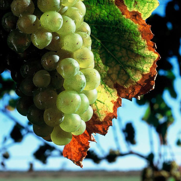 Peconic Bay Winery, Cutchogue, NY