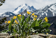 Arrowleaf Balsamroot blooms yellow on the Iron Creek to Teanaway Ridge Trail, in Wenatchee National Forest, near Blewett Pass, Washington, USA. In the background, Mount Stuart (9415 feet / 2870 meters), the second highest non-volcanic peak in the state, rises prominently in the Cascade Range. Arrowleaf Balsamroot (Balsamorhiza sagittata, in the aster/daisy family, Asteraceae/Compositae) is native to much of western North America from British Columbia to California to the Dakotas, growing in many types of habitat from mountain forests to grassland to desert scrub. All of the plant can be eaten, albeit bitter and pine-like in taste. Hike Teanaway Ridge Trail 6-7 miles with 2400 feet cumulative gain.