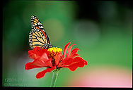 Monarch butterfly (Danaus plexippus) drinks nectar from bright red zinnia flower; St. Louis, Missouri