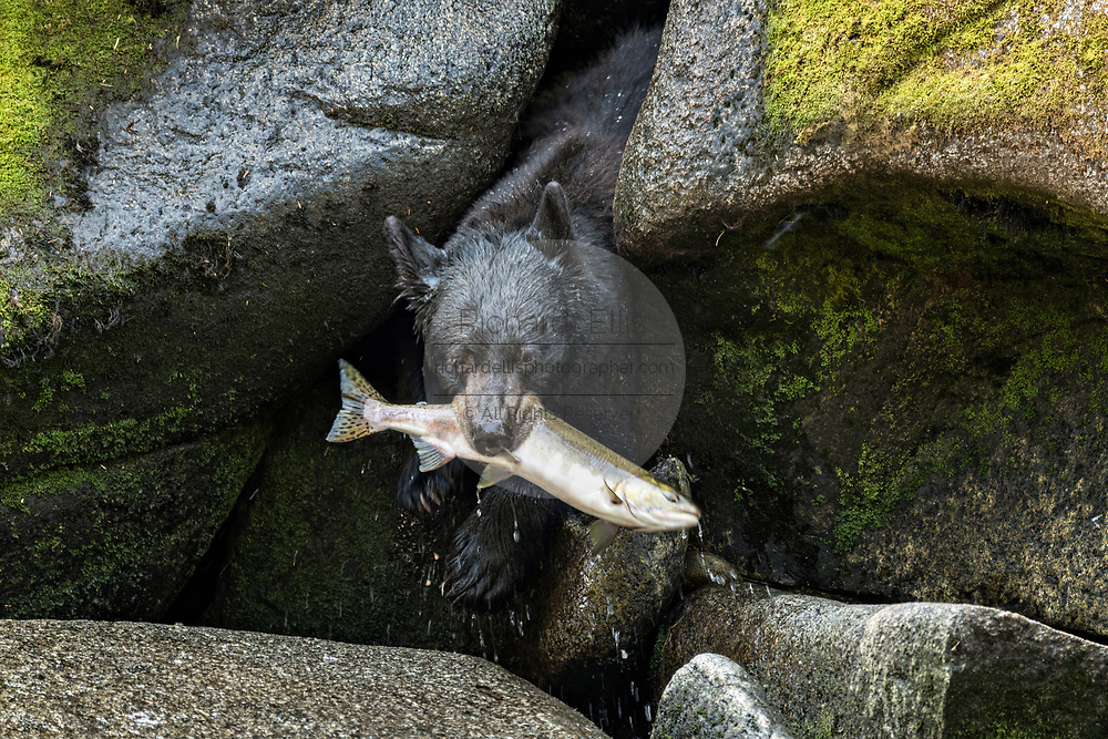 An adult American black bear backs into a cave to protect a freshly caught spawning salmon from larger bears at Anan Creek in the Tongass National Forest, Alaska. Anan Creek is one of the most prolific salmon runs in Alaska and dozens of black and brown bears gather yearly to feast on the spawning salmon.