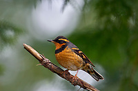 Varied Thrush (Ixoreus naevius), Gabriola Island, British Columbia, Canada   Photo: Peter Llewellyn