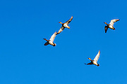 Four Gadwall - Anas streperta in flight with wings outspread against a blue sky