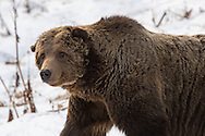 Grizzly 211, also known as Scarface, has seen many changes during all his years in Yellowstone. This distinguished fellow is no longer with us, but when you look in his eyes you can see that he was, and always will be, a formidable warrior.