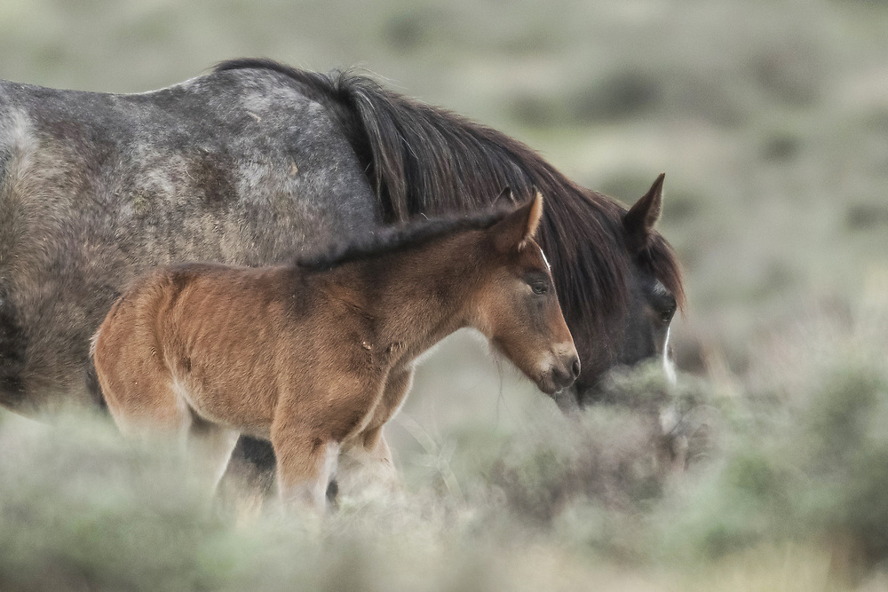 Less than a day old, this newborn filly will stick close to her mother, Miley, during the first few years of her life.