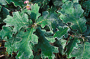 Detail of frost on oak leaves, Yosemite Valley, Yosemite National Park, California