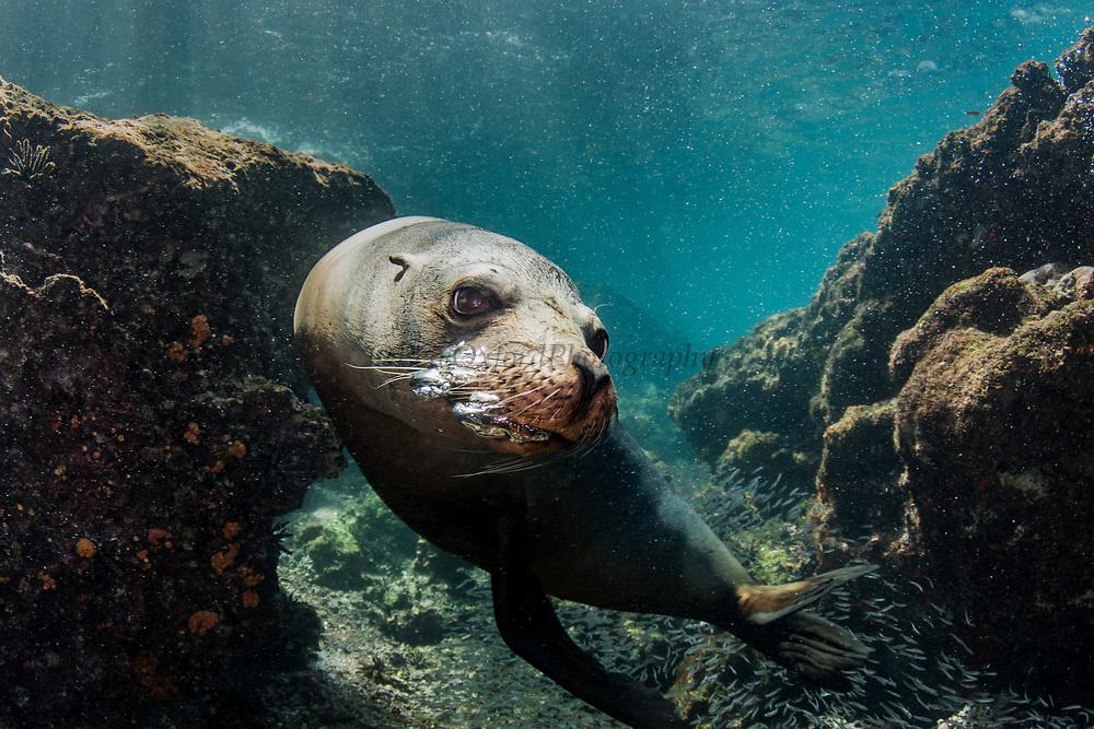 Galapagos Sealion (Zalophus wollebaeki)<br /> Rabida Island<br /> GALAPAGOS ISLANDS<br /> Pacific Ocean<br /> ECUADOR.  South America