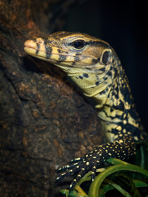 Water monitors are perhaps the most common monitor lizards in Asia, and range from Sri Lanka, India, Indochina, the Malay Peninsula and various islands of Malaysia living in tropical forested areas