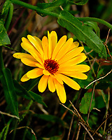 Yellow Flower. Image taken with a Fuji X-H1 camera and 200 mm f/2 lens + 1.4x teleconverter