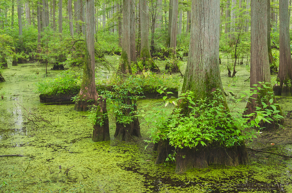 Cypress trees in Heron Pond, Cache River State Natural Area Illinois