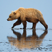 Brown bear walking on tidal flats in blue water;  Lake Clark Alaska, in wild.