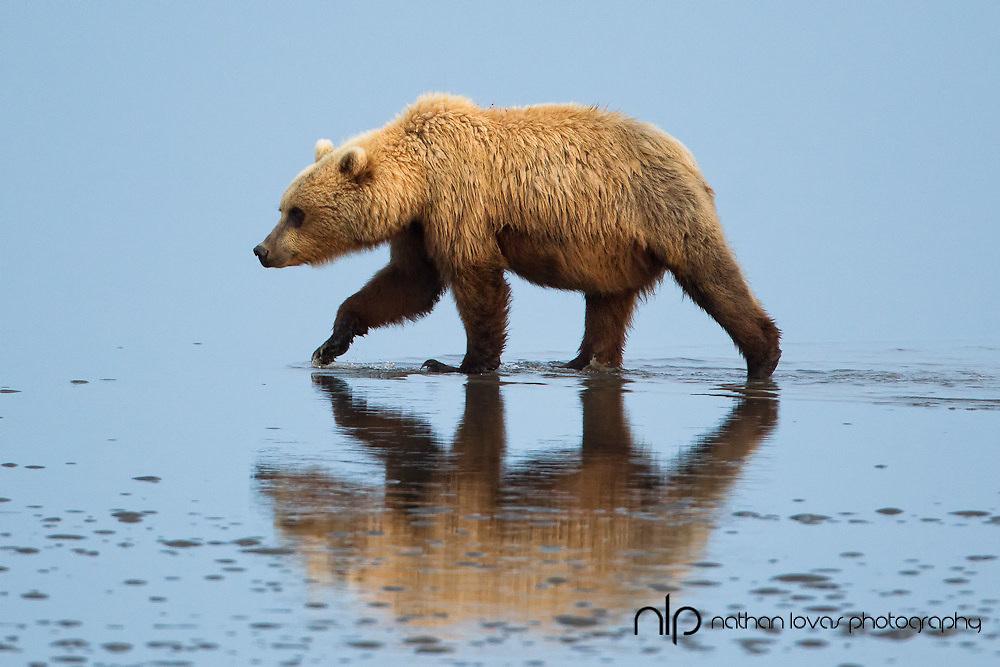 Brown bear walking on tidal flats in blue water;  Lake Clark Alaska, in wild.