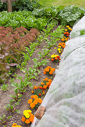 Companion planting. Marigolds grown amongst salad leaves and beetroot to attract aphids and bugs away from other plants