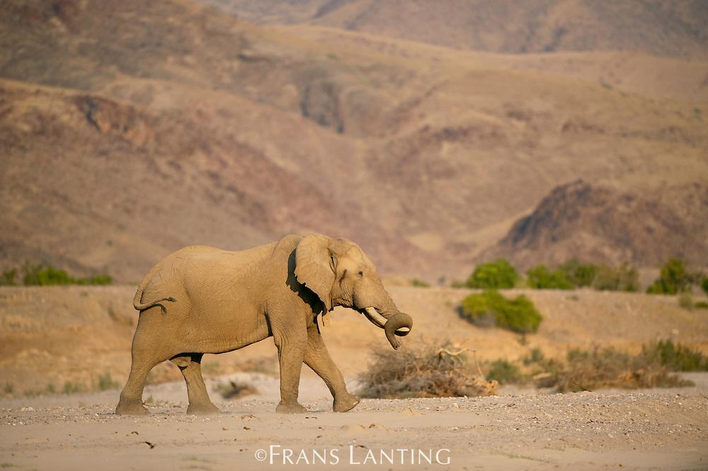 Desert elephant, Loxodonta africana, Hoarusib River, Puros Conservancy, Damaraland, Namibia