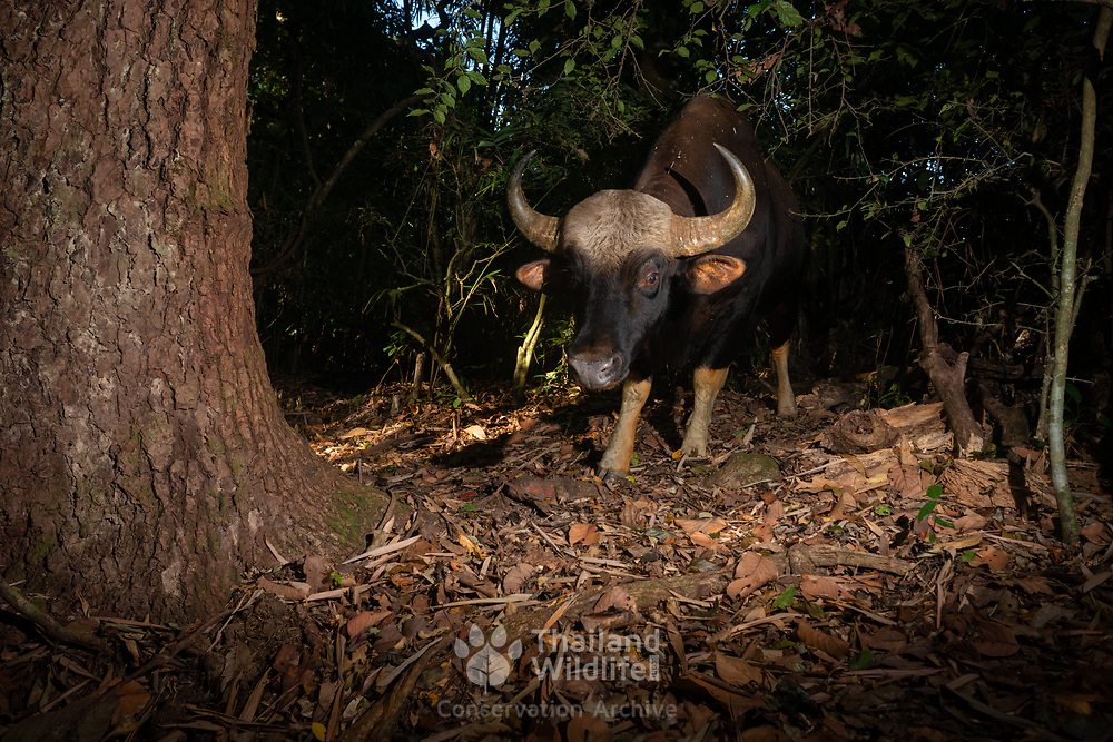 The gaur (Bos gaurus), also called the Indian bison, is the largest extant bovine. This species is native to South and Southeast Asia. It has been listed as Vulnerable on the IUCN Red List since 1986. Population decline in parts of its range is likely to be more than 70% during the last three generations. However, population trends are stable in well-protected areas, and are rebuilding in a few areas which previously had been neglected.