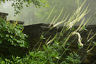 Veronicastrum next to a stone wall in Richard Ballingers Garden in Rensselaerville, New York, U.S.A.
