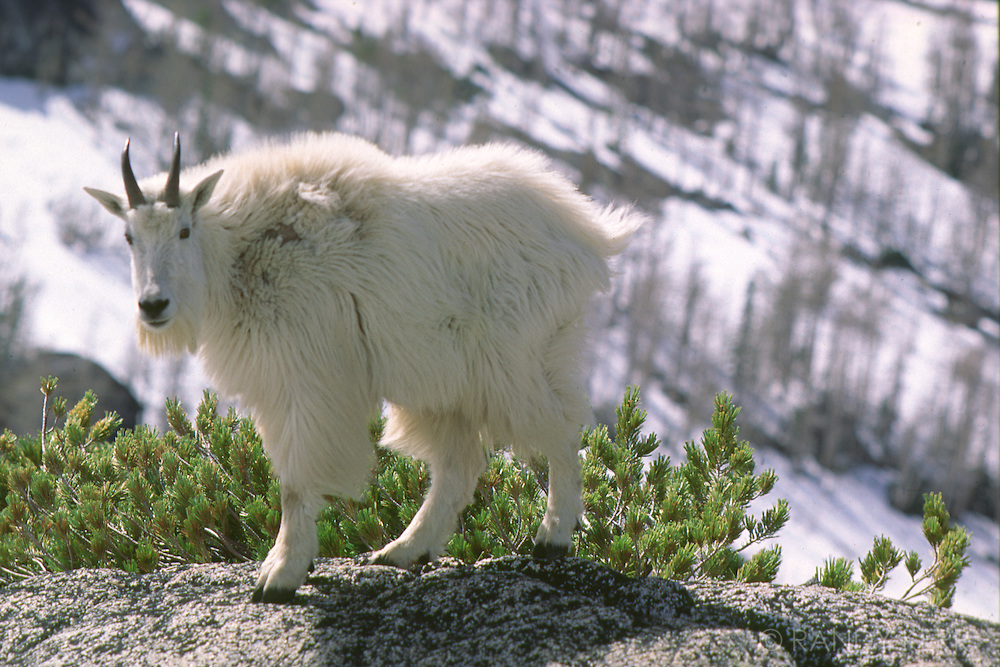 Mountain Goat in the Enchantments