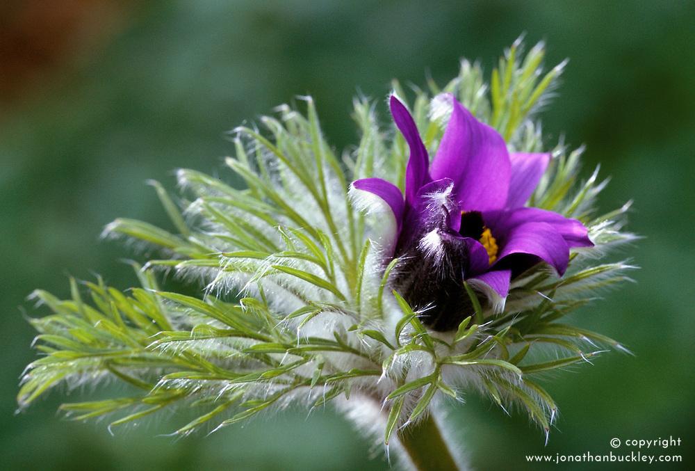 Hairy texture of Pulsatilla vulgaris bud opening. Pasque flower