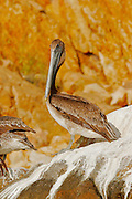 A  pelican on a rock in the bay of Cabo San Lucas.