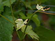 New Vine Growth