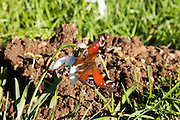 Peacock butterfly rests on Snowdrop, Oxfordshire, United Kingdom