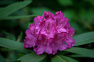 Pink-purple rhododendron.