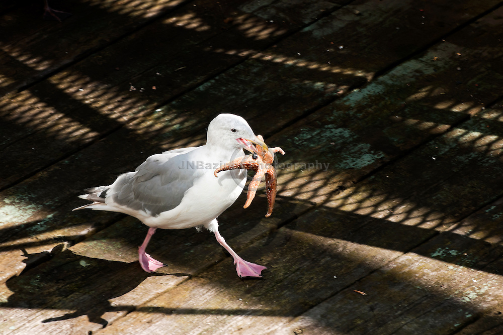 Western gull runs away with a fresh  starfish it has found on a dock. (British Columbia, Canada)