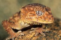 Gecko close-up