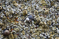 Barnacle growing on a periwinkle, Seal Cove, Maine.
